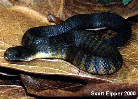 The Eastern Tiger Snake