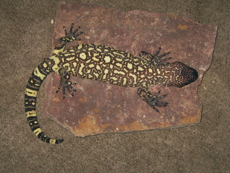 venomousreptiles org classifieds rattlesnakes beaded lizard