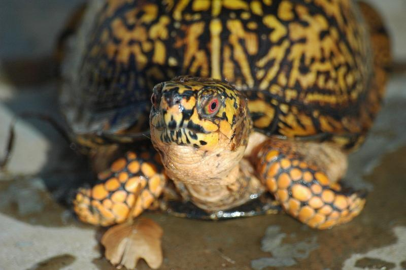 Male Eastern Box Turtle Eastern Box Turtles For