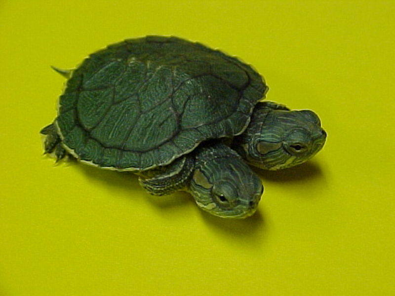 VenomousReptiles.org Classifieds Two Headed Red Ear Sliders