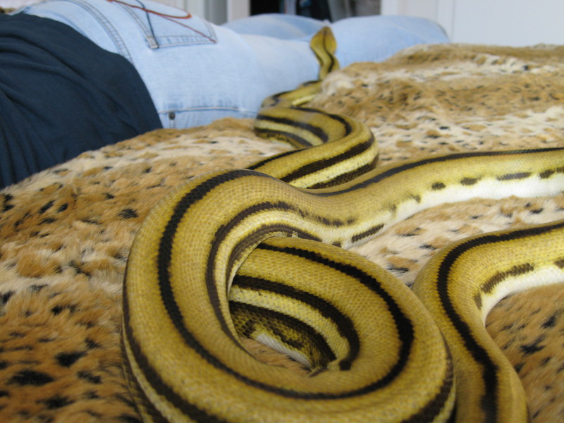 VenomousReptiles.org Classifieds Super Tiger Retic