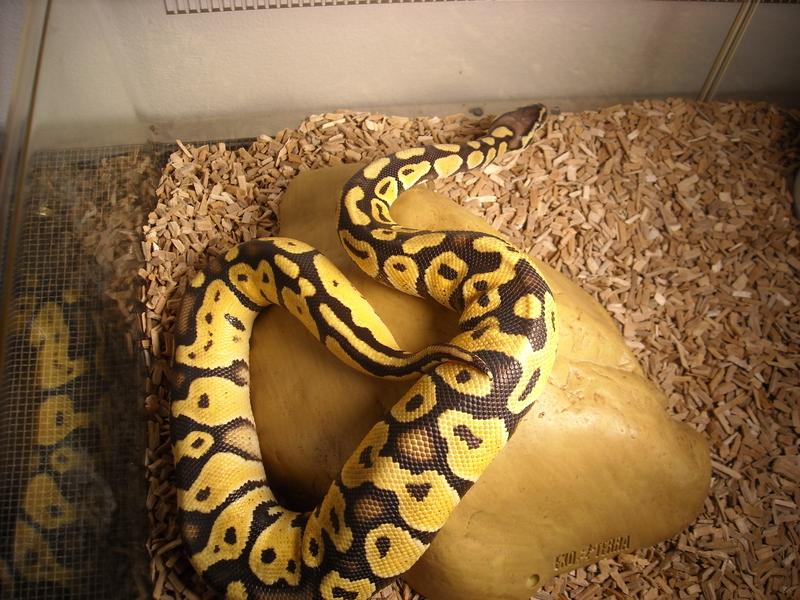 Pastel Ball Python Male i