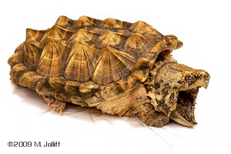 VenomousReptiles org Classifieds intersting alligator snapping