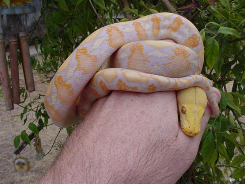 Lavender albino tiger reticulated python - photo#8