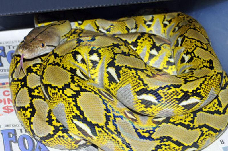 Platinum tiger reticulated python