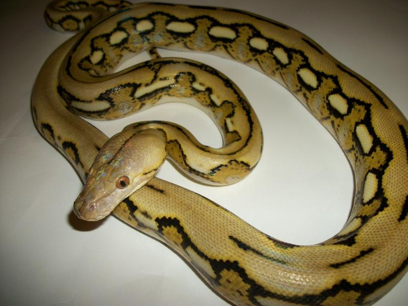 Platinum Reticulated Python | www.imgkid.com - The Image ...