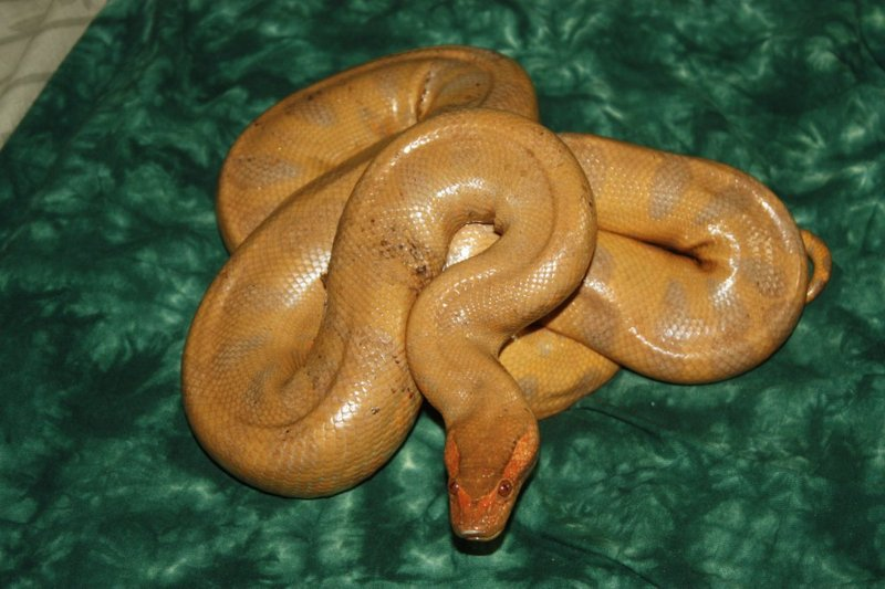 Albino Green Anaconda ...
