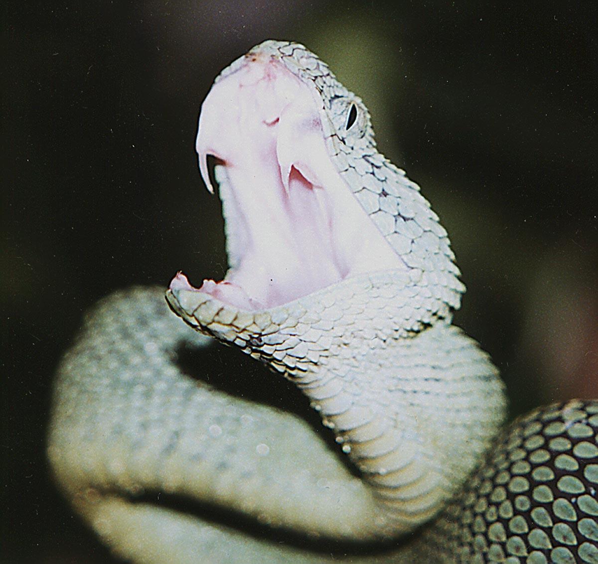 اقوي الافاعي يعني ثعابين في shhsachlor.jpg